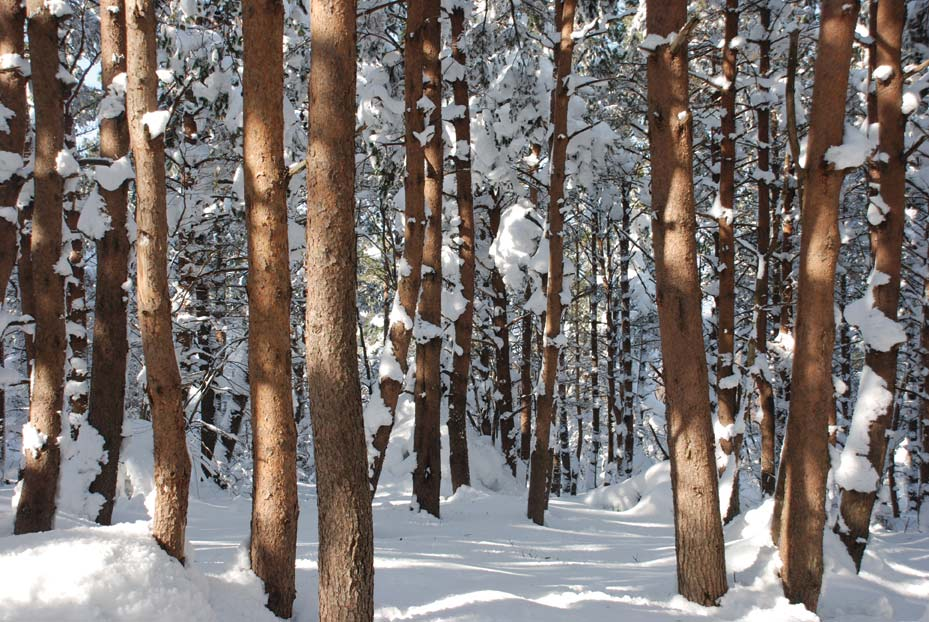 CROWDER, BRENDA: winter -snow-trees.jpg